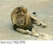 Купить «Царь зверей», фото № 162976, снято 10 июля 2007 г. (c) Хижняк Сергей / Фотобанк Лори