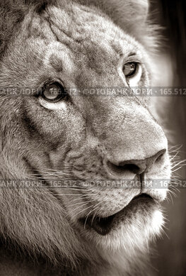 Купить «Король-лев», фото № 165512, снято 23 октября 2007 г. (c) Морозова Татьяна / Фотобанк Лори