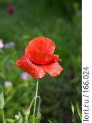 Купить «Дикий мак», фото № 166024, снято 23 июня 2007 г. (c) Розе Андрей / Фотобанк Лори
