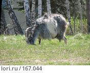 Купить «Пасущийся козёл», фото № 167044, снято 6 мая 2007 г. (c) Иван / Фотобанк Лори