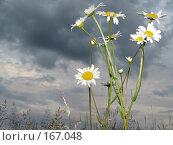 Купить «Высокие ромашки на фоне мрачного неба», фото № 167048, снято 27 июня 2007 г. (c) Иван / Фотобанк Лори