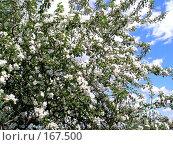 Купить «Цветущий май», фото № 167500, снято 20 мая 2007 г. (c) Кондратьев Игорь Витальевич / Фотобанк Лори