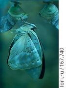 Купить «Рождение бабочки», фото № 167740, снято 3 января 2008 г. (c) Александр Чураков / Фотобанк Лори