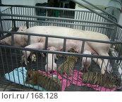 Тигры тоже свиньи. Стоковое фото, фотограф Устинов Геннадий / Фотобанк Лори