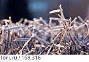 Купить «Заснеженные, заледеневшие ветви кустарника. Красивый фон», фото № 168316, снято 8 января 2008 г. (c) Светлана Силецкая / Фотобанк Лори