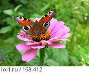 Купить «Бабочка павлиний глаз на розовом цветке циннии», фото № 168412, снято 19 августа 2006 г. (c) Сергей Самсонов / Фотобанк Лори
