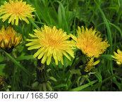 Купить «Желтые цветы на поляне», фото № 168560, снято 28 мая 2006 г. (c) Сергей Самсонов / Фотобанк Лори