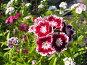 Гвоздика турецкая (бородатая) - Dianthus barbatus, фото № 169536, снято 8 июля 2006 г. (c) Беляева Наталья / Фотобанк Лори