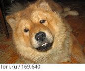 Купить «Голова собаки породы чау-чау», фото № 169640, снято 11 февраля 2004 г. (c) Светлана Белова / Фотобанк Лори