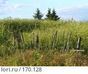 Купить «Трава и три ели», фото № 170128, снято 22 июля 2007 г. (c) Наталья Ярошенко / Фотобанк Лори