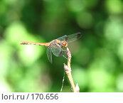 Купить «Стрекоза, макро», фото № 170656, снято 22 августа 2005 г. (c) Елизавета Калбасова / Фотобанк Лори