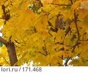 Клен. Стоковое фото, фотограф Cавельева Елена / Фотобанк Лори