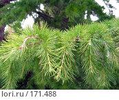 Купить «Ветка хвойного дерева», фото № 171488, снято 23 сентября 2007 г. (c) Елена Руденко / Фотобанк Лори