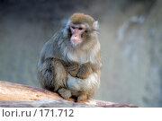 Купить «Сидящая на бревне обезьяна (предположительно макака)», фото № 171712, снято 1 января 2008 г. (c) Александр Чураков / Фотобанк Лори