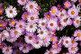 Пурпурно-белые цветы, фото № 172320, снято 24 марта 2017 г. (c) Парушин Евгений / Фотобанк Лори