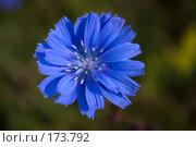 Купить «Одинокий цветок цикория», фото № 173792, снято 24 июня 2007 г. (c) Петухов Геннадий / Фотобанк Лори