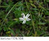 Купить «Муха на цветке звездчатки дубравной», фото № 174104, снято 3 октября 2007 г. (c) Илья Клыков / Фотобанк Лори