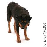 Злая собака. Стоковое фото, фотограф Евгений Р / Фотобанк Лори