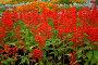 Красный шалфей, фото № 177104, снято 30 июня 2007 г. (c) Петухов Геннадий / Фотобанк Лори