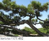 Купить «Сосна на вершине горы Эчки-Даг в Крыму», фото № 177492, снято 27 августа 2007 г. (c) Татьяна Высоцких / Фотобанк Лори