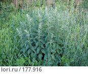 Купить «Крапива двудомная (Urtica dioica)», фото № 177916, снято 25 июня 2007 г. (c) Максим Рыжов / Фотобанк Лори