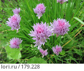 Купить «Шнитт-лук (скорода) - Allium schoenoprasum», фото № 179228, снято 8 июля 2007 г. (c) Беляева Наталья / Фотобанк Лори