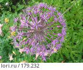 Купить «Лук афлатунский - Allium aflatunense», фото № 179232, снято 24 июня 2006 г. (c) Беляева Наталья / Фотобанк Лори