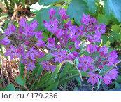 Купить «Лук Островского - Allium ostrowskianum», фото № 179236, снято 27 июня 2006 г. (c) Беляева Наталья / Фотобанк Лори