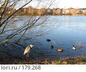 Дания. Озеро посреди Копенгагена. Цапля и утки на воде. (2007 год). Стоковое фото, фотограф Георгий Ильин / Фотобанк Лори
