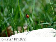 Купить «Божья коровка пытается взлететь», фото № 181972, снято 16 апреля 2005 г. (c) Никонова Марина / Фотобанк Лори