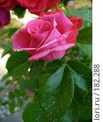 Купить «Розовая роза», фото № 182288, снято 30 мая 2007 г. (c) Наталья Ярошенко / Фотобанк Лори
