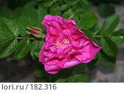Купить «Шиповник», фото № 182316, снято 21 июля 2007 г. (c) Мария Малиновская / Фотобанк Лори