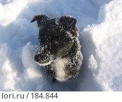 Черный щенок в снегу. Стоковое фото, фотограф Пыткина Альбина / Фотобанк Лори