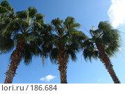 Купить «Три пальмы», фото № 186684, снято 18 ноября 2007 г. (c) Николай Богоявленский / Фотобанк Лори