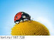 Купить «Божья коровка на ромашке», фото № 187728, снято 9 июля 2007 г. (c) Анатолий Типляшин / Фотобанк Лори