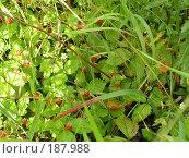 Купить «Земляничка», фото № 187988, снято 29 июня 2005 г. (c) Анна Николаева / Фотобанк Лори