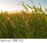Купить «Зеленая трава подсвеченная солнцем, крупный план», фото № 188112, снято 10 августа 2007 г. (c) Liseykina / Фотобанк Лори
