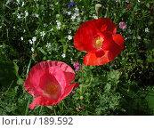 Купить «Розовый и красный цветки мака», фото № 189592, снято 5 марта 2007 г. (c) Елена Кретова / Фотобанк Лори