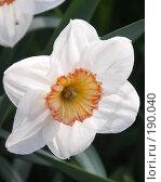 Купить «Соцветие простого нарцисса», фото № 190040, снято 21 мая 2006 г. (c) Лебедева Александра / Фотобанк Лори