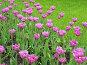 Лиловые тюльпаны в парке, фото № 190064, снято 21 мая 2005 г. (c) Солодовникова Елена / Фотобанк Лори