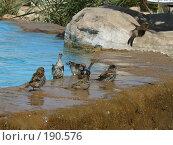 Купить «Воробьи купаются около бассейна», фото № 190576, снято 1 октября 2007 г. (c) Бушева Анастасия / Фотобанк Лори