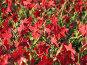Красный душистый табак, фото № 191836, снято 25 сентября 2007 г. (c) Ольга Хорькова / Фотобанк Лори