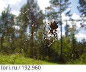 Купить «Паук, сидящий в паутине», фото № 192960, снято 2 августа 2007 г. (c) Иванова Наталья / Фотобанк Лори