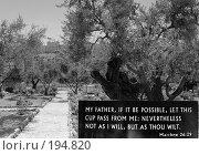 Купить «Гефсиманский сад. Иерусалим. Израиль», эксклюзивное фото № 194820, снято 17 июня 2006 г. (c) Татьяна Белова / Фотобанк Лори