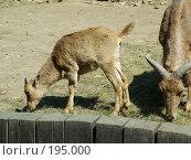 Пражский зоопарк. Горные козлы. Стоковое фото, фотограф Светлана Шушпанова / Фотобанк Лори