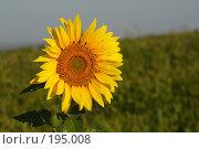 Купить «Подсолнух на фоне поля», фото № 195008, снято 12 августа 2007 г. (c) Антон Тарасов / Фотобанк Лори