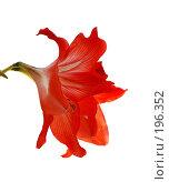 Купить «Гиппеаструм красный вид сбоку», эксклюзивное фото № 196352, снято 24 января 2008 г. (c) Алёшина Оксана / Фотобанк Лори