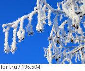 Купить «Заснеженная ветка дерева», фото № 196504, снято 8 января 2008 г. (c) Муратов Андрей Анатольевич / Фотобанк Лори