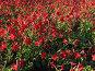Красный душистый табак, фото № 197288, снято 25 сентября 2007 г. (c) Ольга Хорькова / Фотобанк Лори