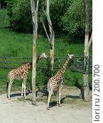 Купить «Пражский зоопарк .Жирафы», фото № 200700, снято 9 мая 2006 г. (c) Светлана Шушпанова / Фотобанк Лори